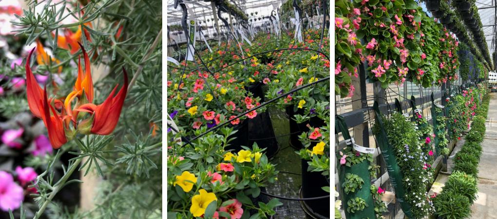 Tuincentrum Schalk | Perkplanten bestellen | Eigen kwekerij