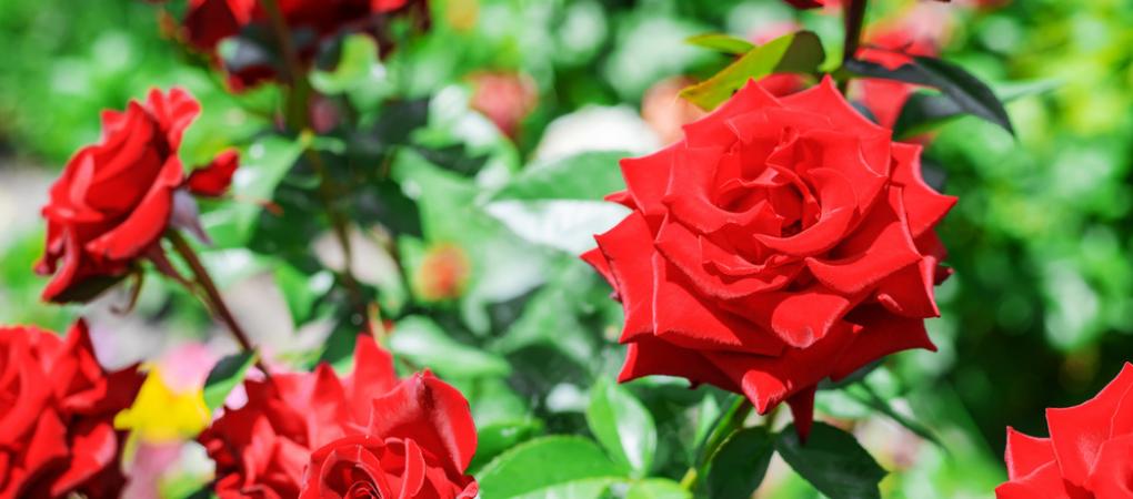 Tuincentrum Schalk | Rozen | Klimroos | Rozen snoeien